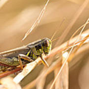 Hopper In Golden Grass Poster