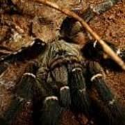 Hornback Baboon Spider Poster
