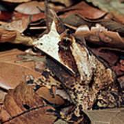 Horned Frog Camouflaged In Leaf Litter Poster