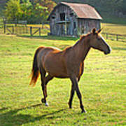 Horse And Old Barn In Etowah Poster