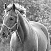 Horse Black And White Poster