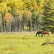 Horse Grazing In Field Autumn Maine Poster