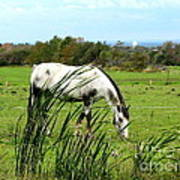 Horse Grazing In Field Poster