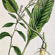 Horseradish Poster by Elizabeth Blackwell
