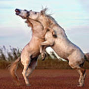 Horses Fighting Poster