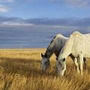 Horses Grazing In Cypress Hills Poster