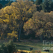 Horses In A Backlit Field With Fall Colored Trees Sedo Poster