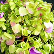 Hortensia With Touch Of Pink Poster