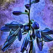 Hosta Blossom Poster