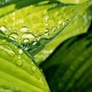 Hosta Droplets I Poster