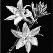 Hosta Flowers In Black And White Poster
