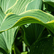 Hosta Leaves After The Rain Poster