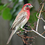 House Finch At Rest Poster