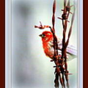 House Finch - Finch 2241-004 Poster