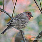House Finch In Autumn Poster