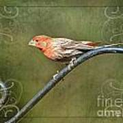 House Finch On Guard II Poster