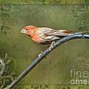 House Finch On Guard IIi Poster