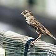 House Sparrow Poster