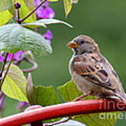 House Sparrow On A Wheel Poster