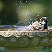 House Sparrow Washing Poster
