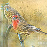 Housefinch Pair With Texture Poster