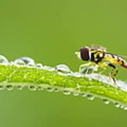 Hoverfly In Dew Poster