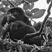 Howler Monkey's Poster