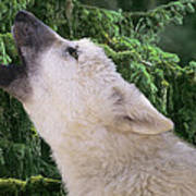 Howlling Arctic Wolf Pup Endangered Species Wildlife Rescue Poster