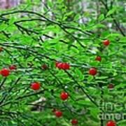 Huckleberry Bush Poster
