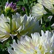Hues Of Softness Dahlia Poster