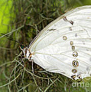 Huge White Morpho Butterfly Poster