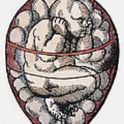 Human Fetus, 16th Century Poster