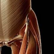 Human Hip Muscles Poster