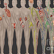 Human Systems In The Female Anatomy Poster