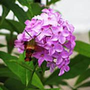 Humingbird Moth Poster