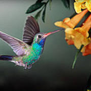Hummer Feeding At Yellow Flower Poster