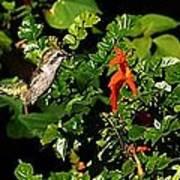 Humming Bird Honeysuckle Poster