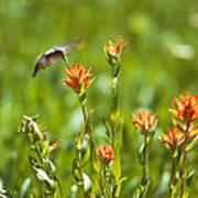 Hummingbird And Paintbrush Flower Poster