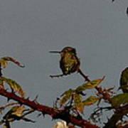 Hummingbird Atop Blackberry Bushes Poster