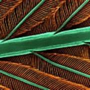Hummingbird Feather Shaft Poster