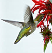 Hummingbird Focused On The Scarlet Bee Balm Poster