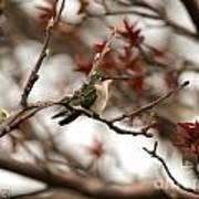 Hummingbird In Spring Poster