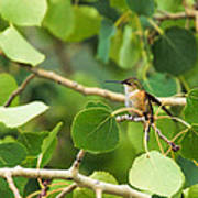 Hummingbird In Tree Poster