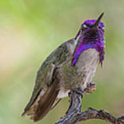 Hummingbird Male Costa Poster