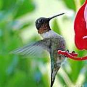 Hummingbird Male Ruby Throated  Poster
