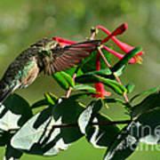 Hummingbird Morning Poster
