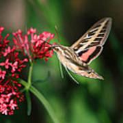Hummingbird Moth Poster