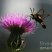 Hummingbird Moth II Poster