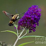 Hummingbird Moth Iv Poster