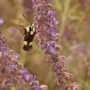 Hummingbird Moth On Russian Sage Poster